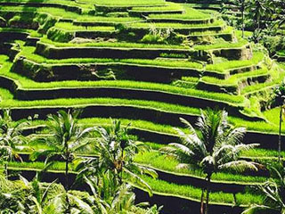 ceking-rice-terrace